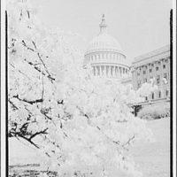 U.S. Capitol. U.S. Capitol behind blossoms