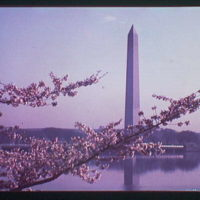 Washington Monument. Views of Washington Monument, cherry blossoms and Tidal Basin XXXVI