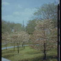 Washington Monument. Views of Washington Monument, cherry blossoms and Tidal Basin XXVII