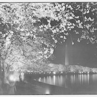 Japanese cherry blossoms. Japanese cherry blossoms by night with special illumination