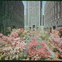 Rockefeller Center, New York City. Planted with azaleas I