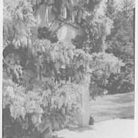 Sunnyside Restoration, Washington Irving House, Tarrytown, New York. Close-up, wisteria