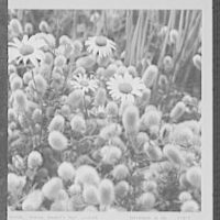 Seventy-one years, or, My life with photography. Daisies among rabbit's foot clover, a contrast of textures and shapes, Sept. 22, 1961