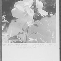Seventy-one years, or, My life with photography. Swamp mallows, Hibiscus palustris, Oct. 6, 1966