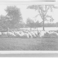 Prospect Park. Grazing sheep